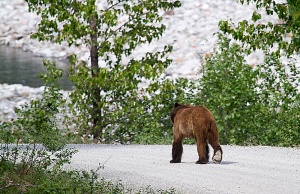 Another Grizzley, walking