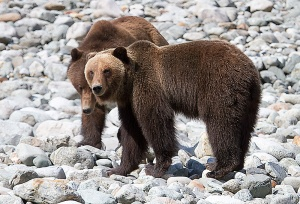 Two bears on a gravel bar in Tongass National Forest