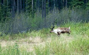 Caribou running into the woods. Smarter than a chicken.