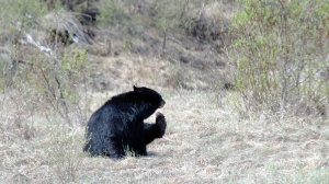 Bear. Doing what bears do when they have in itch.