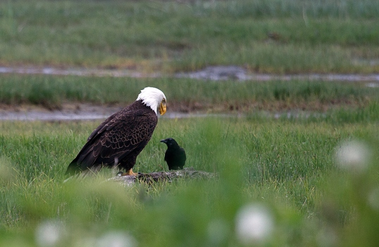 An Eagle sharing his 'catch' with a blackbird. Probably my favorite image of the series.